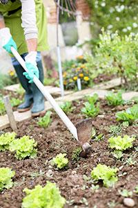 Person gardening lettuce