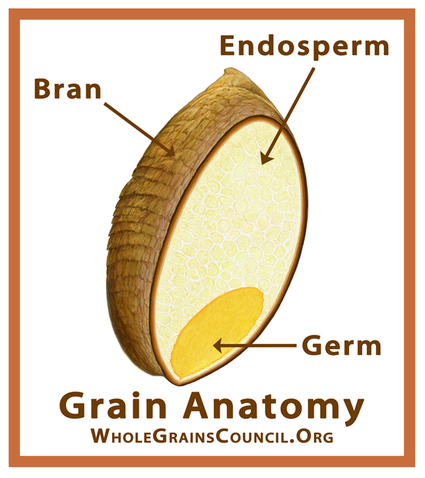 grain-anatomy