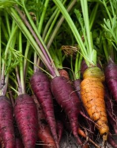 carrots, DIY Plant Science: Grow Your Own Purple Carrots in 10 Steps